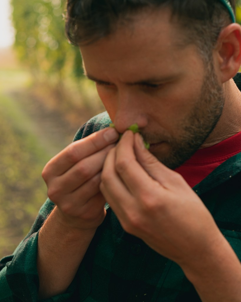Man smelling the aroma of a hops cone he has broken open