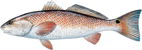 Red Drum AKA Red Fish