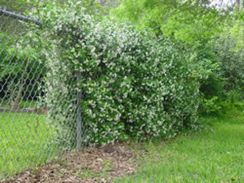 Awesome Fence With Evergreen Plants Landscaping Ideas 11