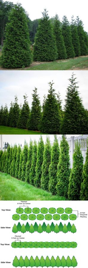 Awesome Fence With Evergreen Plants Landscaping Ideas 39