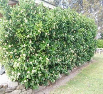 Awesome Fence With Evergreen Plants Landscaping Ideas 55