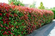 Awesome Fence With Evergreen Plants Landscaping Ideas 8