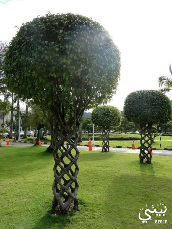 Fascinating Evergreen Pleached Trees for Outdoor Landscaping 10