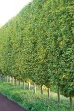 Fascinating Evergreen Pleached Trees for Outdoor Landscaping 18
