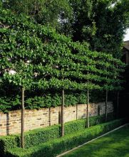 Fascinating Evergreen Pleached Trees for Outdoor Landscaping 19
