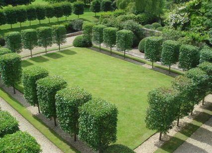 Fascinating Evergreen Pleached Trees for Outdoor Landscaping 22
