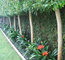 Fascinating Evergreen Pleached Trees for Outdoor Landscaping 25