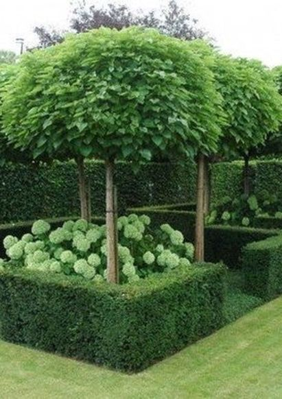 Fascinating Evergreen Pleached Trees for Outdoor Landscaping 26