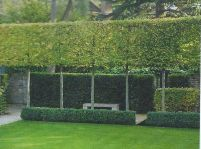 Fascinating Evergreen Pleached Trees for Outdoor Landscaping 31