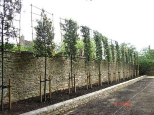 Fascinating Evergreen Pleached Trees for Outdoor Landscaping 48