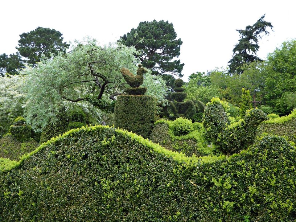 Fascinating Evergreen Pleached Trees for Outdoor Landscaping 1