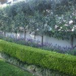 Fascinating Evergreen Pleached Trees for Outdoor Landscaping 54
