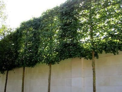 Fascinating Evergreen Pleached Trees for Outdoor Landscaping 7