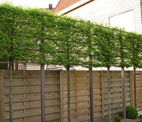 Fascinating Evergreen Pleached Trees for Outdoor Landscaping 8
