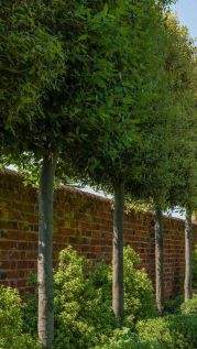 Fascinating Evergreen Pleached Trees for Outdoor Landscaping 81