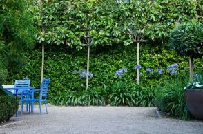 Fascinating Evergreen Pleached Trees for Outdoor Landscaping 9