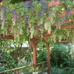 20 Awesome Tips and Ideas to Grow Grape in Your Home Backyard 16