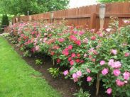 Colorful Landscaping with Low Maintenace Flower Bushes 24