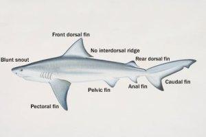 info tiger shark: Tiger Shark Anatomy