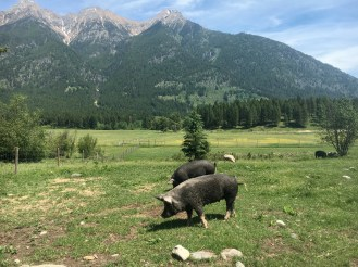 Sows out in pasture