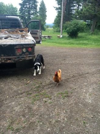 Ben stalking a chicken