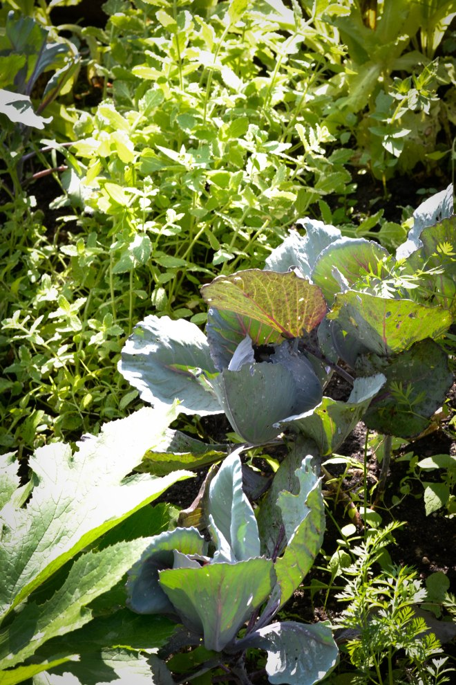 purple cabbage, herbs