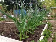 Garlic Grows