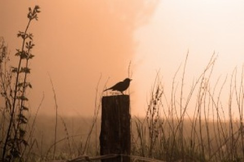 morning blackbird-542460_1280