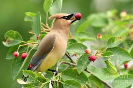 Cedar Waxwings eat Holly berries