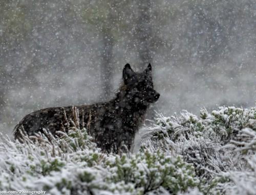 Black Wolf - TW