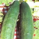 Cucumber 'Burpless'