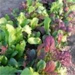 Lettuce 'Mesclun Mix'