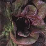 Lettuce 'Red Romaine'
