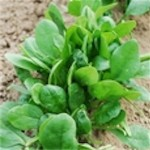 Spinach 'Melody'