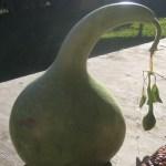 Gourd 'Birdhouse'