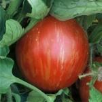 Tomato 'Mr Stripey'