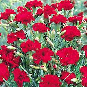 Carnation 'King of the Blacks'