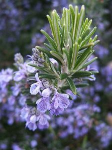 Rosemary, Tuscan Blue
