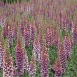 Digitalis 'Candy Mountain' (Foxglove)