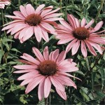 Echinacea 'Magnus'  (Purple Coneflower)