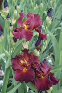 Bearded Iris 'Saturday Night Live'