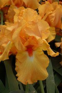 Bearded Iris 'Avalon Sunset'
