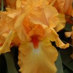 Bearded Iris 'Avalon Sunset'