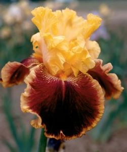 Bearded Iris 'Mexican Holiday'