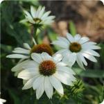 Echinacea 'Pow Wow White' (Coneflower)