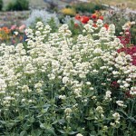 Centranthus 'White Cloud'