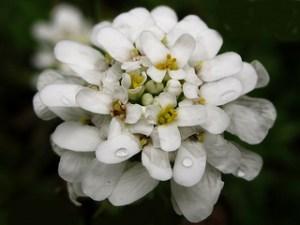 Iberis 'Snowcone' (Candytuft)