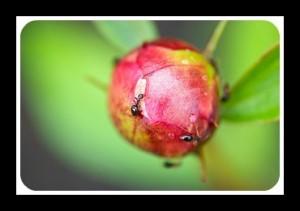 Peony & ant