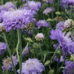 """Scabiosa 'Butterfly Blue"""""""