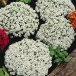 Alyssum and Lettuce